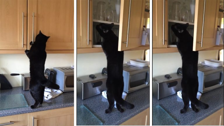 Desperate For Treats Growler S Hilarious Attempt To Steal From The Kitchen Cupboard Goes Wrong