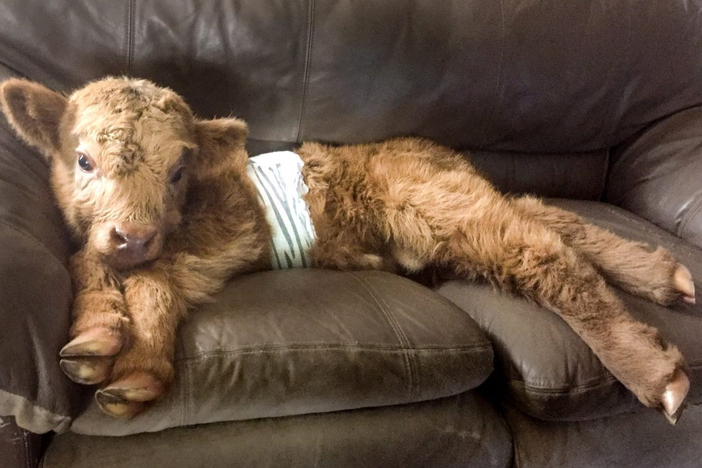 A Highland Cow rejected by the rest of the herd has grown up thinking it is a dog – after its owners raised it inside the family home ***Телёнка вырастили в семье с собаками, и теперь он решил, что он пёс!