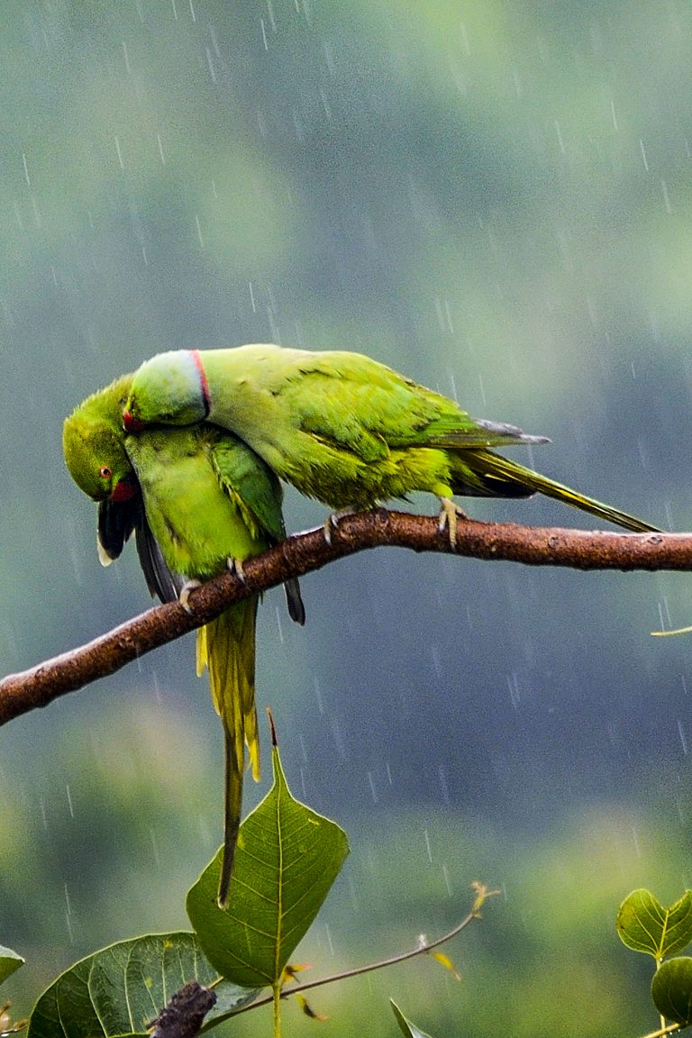 Love Birds Pair Of Parakeets Act Like Loved Up Teens And