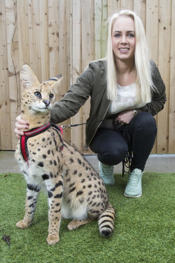 Uk S First Wild African Cat Adopted By Manchester Family Fits In Purr Fectly But Be Careful He Bites Caters News Agency