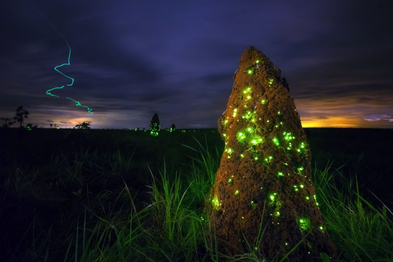 Light Term Up Luminescent Larvae Turn Termite Mounds Green