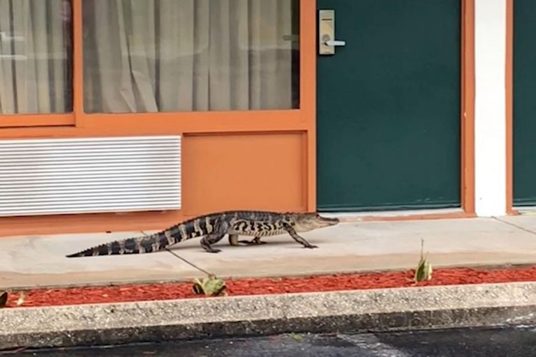 Unwelcome Guest Alligator Filmed On Casual Stroll Through