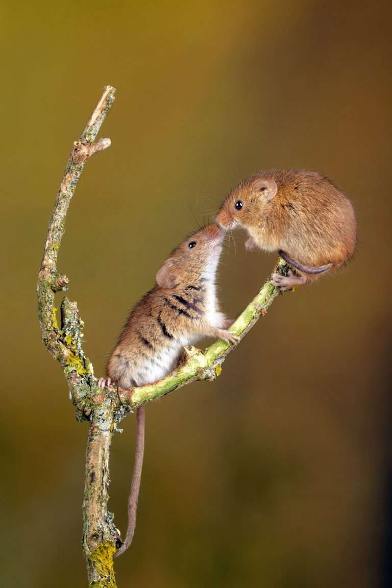 U00bb Harvest Mice Share Romantic Kiss While Standing On
