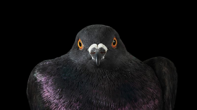 Coo for the camera - Photographer looks to change people's opinions of pigeons, photographing them like never before Image