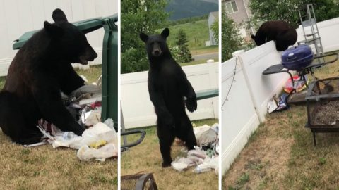 Teenager confronts a bear that was going through his rubbish Image
