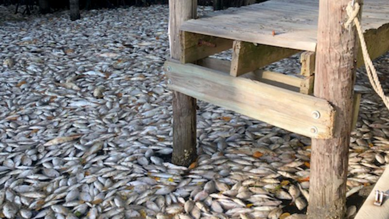 Millions of dead fish wash up on picturesque Florida beaches as toxic algae kills 267 tons of marine life Image