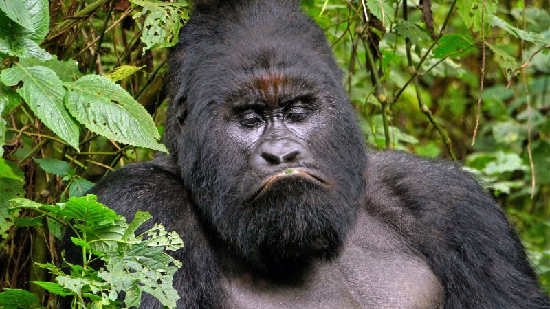 Grumpy gorilla strikes a frown for the camera Image