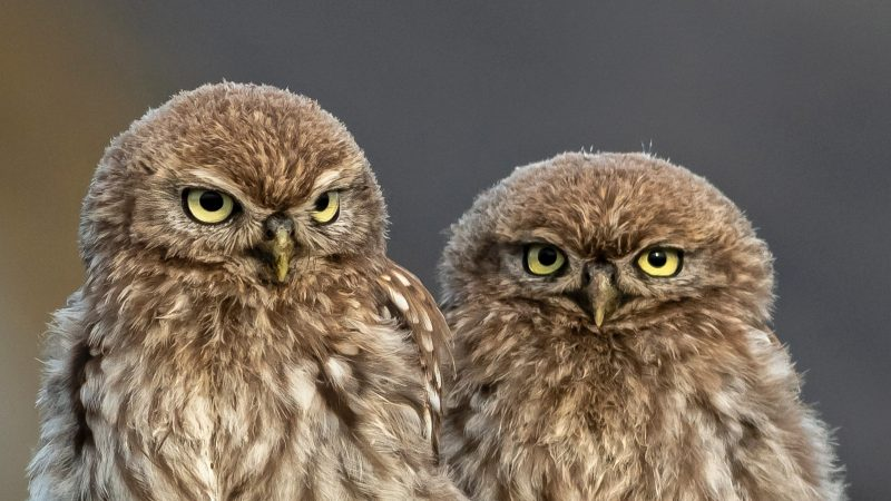 These adorably grumpy owlets that always look like 'they're up to no good' have earned the nicknames Ronnie and Reggie after the notorious Kray twins. Image