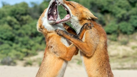 Intense pictures show two foxy siblings fighting each other for dominance Image
