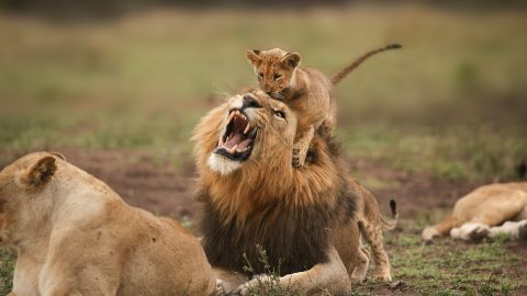 Father's pride: adorable photographs capture playful moment between lion and cub Image