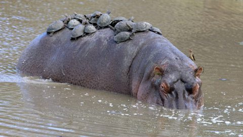 Thats what you call a hippobus - giant hippo ambushed by dozens of turtles after going for a quick dip Image