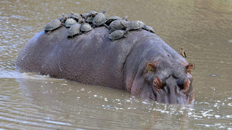 That's what you call a hippobus - giant hippo ambushed by dozens of turtles after going for a quick dip Image