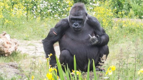 Ape-palling behaviour! Cheeky gorilla 'smirks' as it holds middle finger up at accountant Image