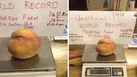 Fame and the giant peach! Massive peach perfect fruit the size of a small melon breaks world record Image