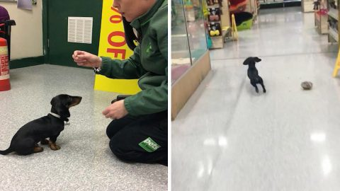 Adorable dachshund works at local pet store shop as chief meeter and greeter Image