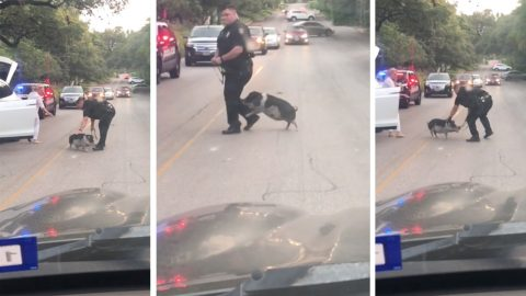 The pigs are coming! Hilarious footage shows stubborn pig causing traffic jam by fighting with police officer Image