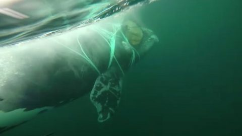 Chilean navy jumps in next to huge whale to free it from crab nets wrapped around body Image