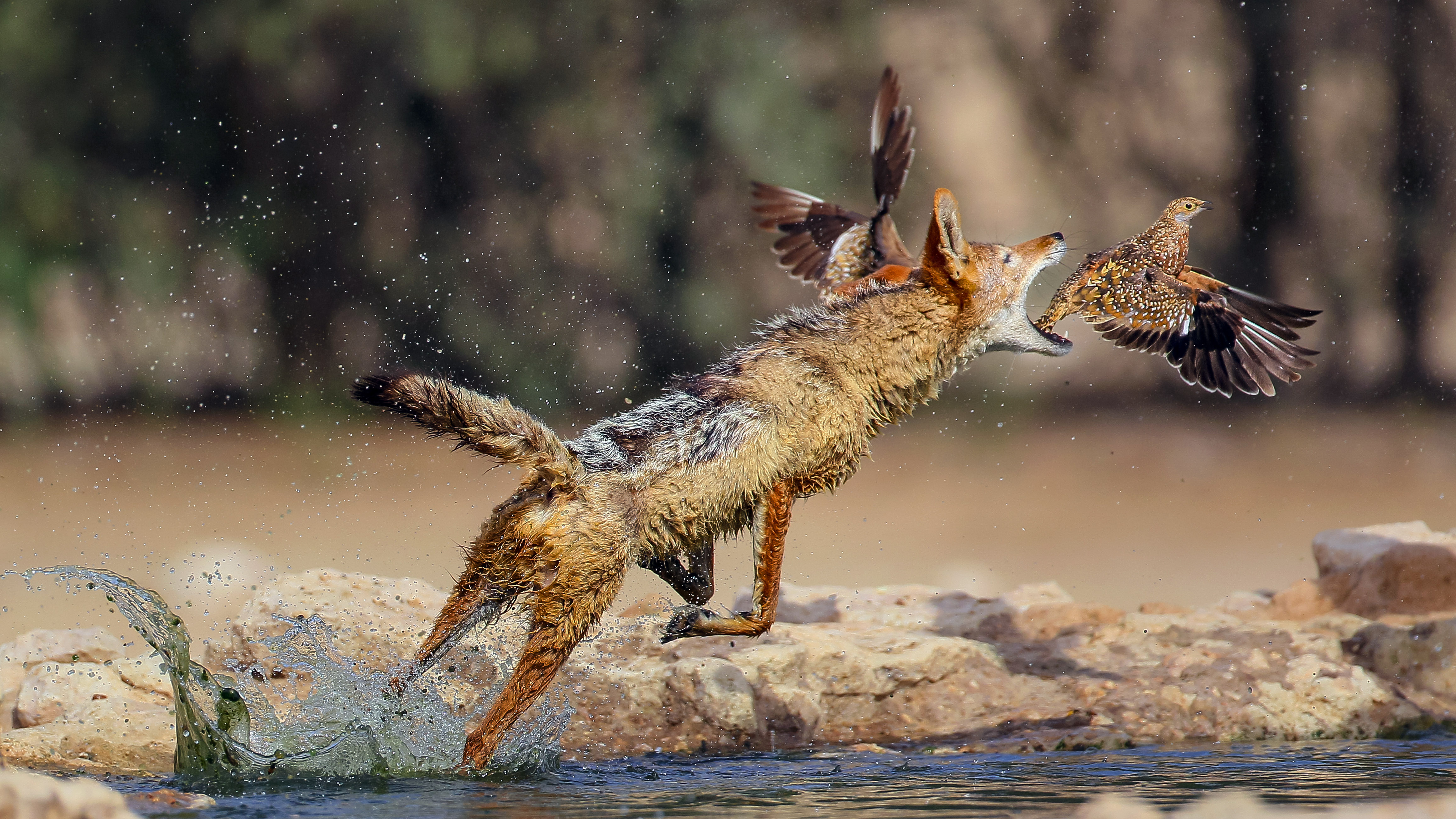 A hungry jackal wanted to attack an ostrich, but changed his mind 54