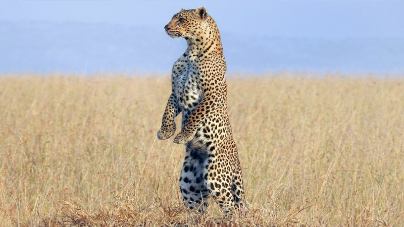 Leopard stands like meerkat while looking for cub Image