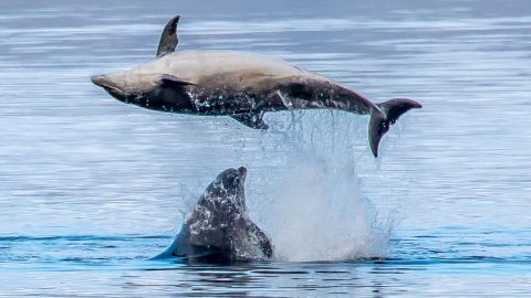 Dirty dancing dolphins perfect routine in Scottish ocean Image