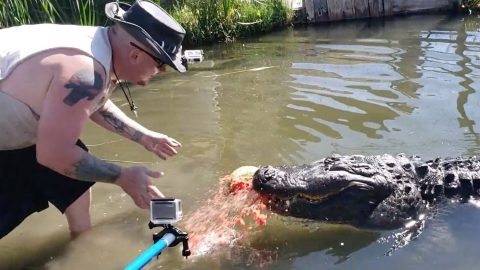 Gator handler shows of awesome power of creature's jaws as it crushes watermelon Image