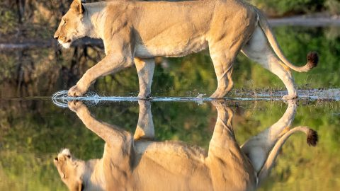 Seeing double? Photographer captures stunning images of majestic lioness perfectly reflected in flooded road Image
