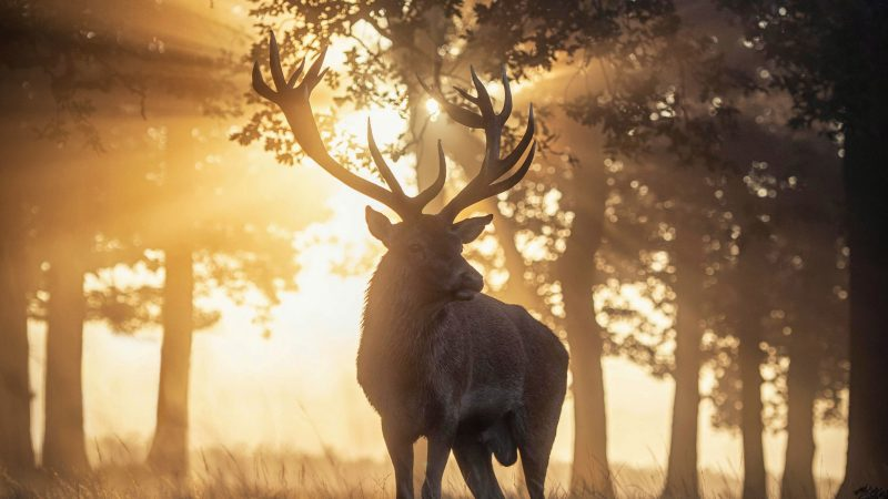 Staggering beauty! Photographer captures serenity of stag at sunrise Image