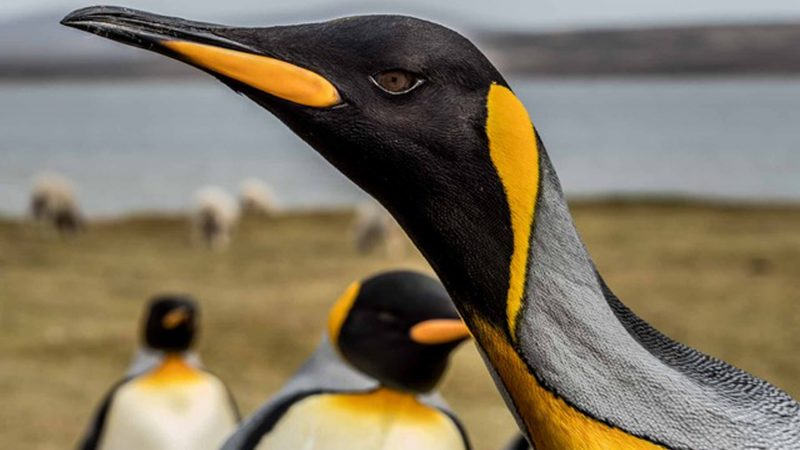 P-p-pick me! Attention seeking penguin desperate bid for the limelight with epic photobomb Image