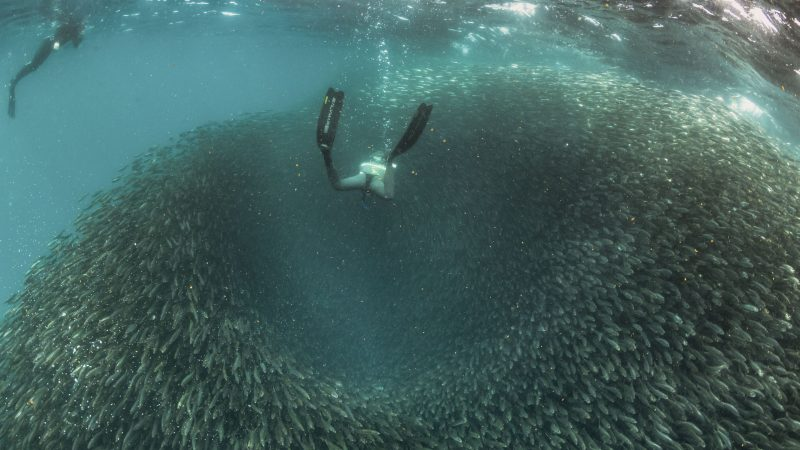 Incredible images show divers as fish create ball bait against predators Image
