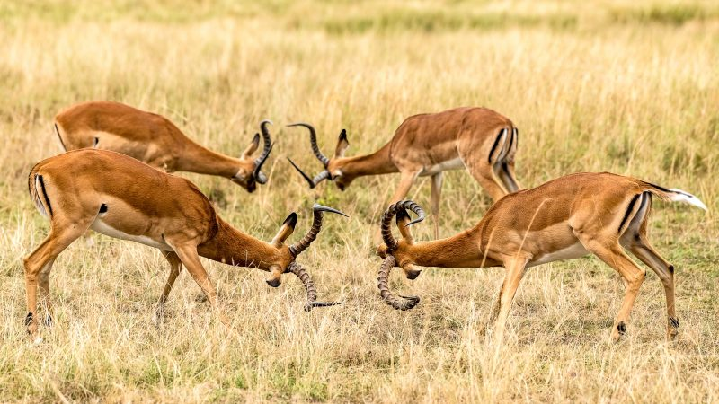 Stunning snaps capture impalas fighting in perfect symmetry Image