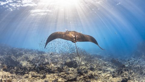 Ray of hope! Photographer snaps first manta ray sighting for 16 years Image