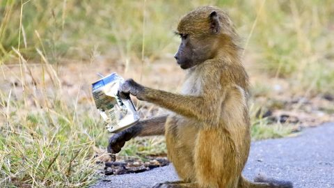 Shocking pictures show baboon biting a beer can lazily tossed aside by careless tourist Image