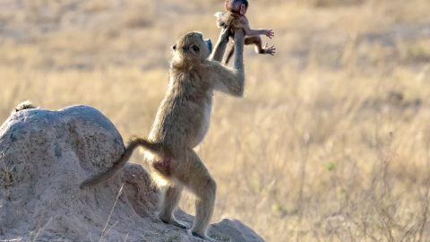 Photographer Captures Moment Two Monkeys Recreate Famous Lion King Circle Of Life Scene Image