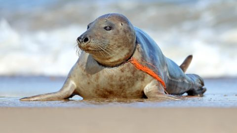 Plastic pollution: Disturbing images show helpless seal with plastic fishing net wrapped around its neck Image