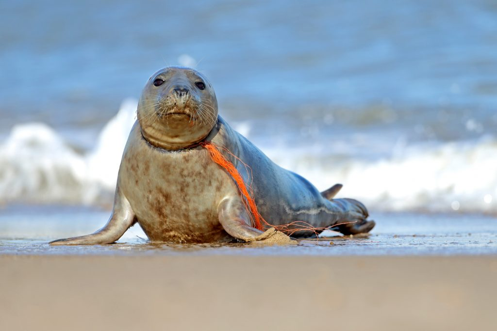 Plastic Pollution Disturbing Images Show Helpless Seal With Fishing Net Wred Around Its Neck