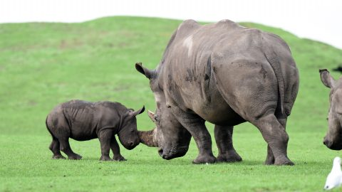 Cheeky chappy! Hilarious new photos show adorable newborn baby rhino is proving a nuisance to his relatives Image