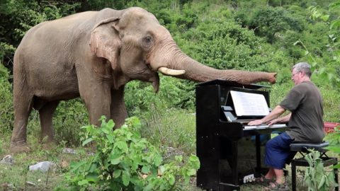 A moment to never forget: British pianist spends his days playing classical symphonies to old, injured and handicapped elephants Image