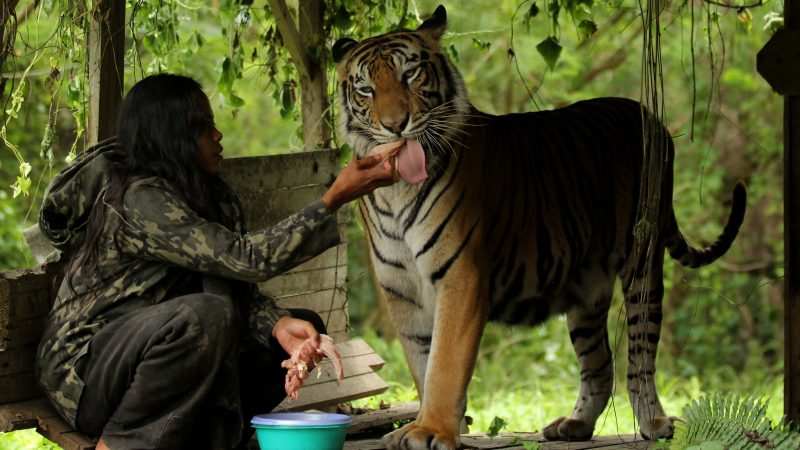 Indonesian teacher forms friendship with 28 stone pet tiger Image