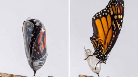 Amazing photo sequence show butterfly's transformation Image