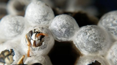 Causing A Buzz! Pest Control Worker Films Hornet Chewing Its Way Out Of Incubation Cell To Show Beauty Image