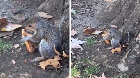 Stealthy slice! Video shows squirrel eating pizza Image