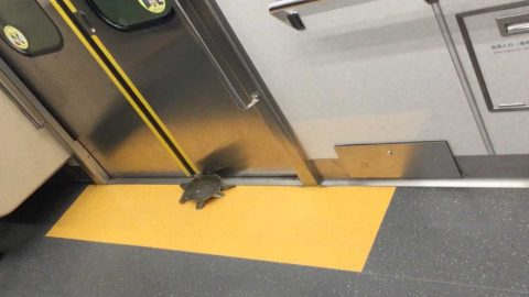 Shellshocked! Commuters find turtle on subway train Image
