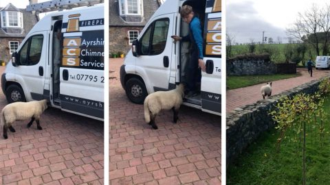 Wool Ewe Leave Me Alone? Macho Workman Locks Himself In Va After Being Chased By Aggressive Sheep Image