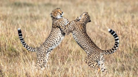 Strictly cub dancing! Cheetahs show off slick moves in dance sequence Image