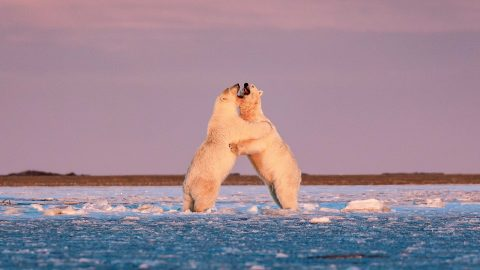 Dancing on ice! Polar bears captured waltzing across the snow in amazing images Image
