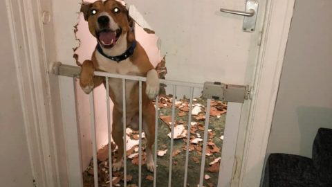 Caught red pawed! Pooch creates dog shaped hole after mauling kitchen door Image