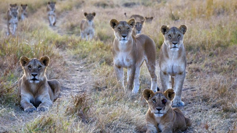 Lions strike a pose just like 'the birds' by Alfred Hitchcock Image