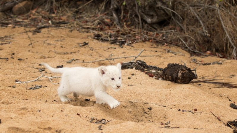 Rare leucitic white lion cub spotted in South Africa Image