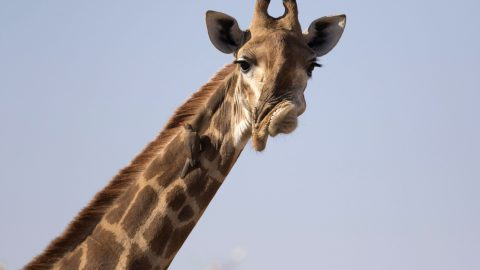 Thats highly unusual! Gurning giraffe with bizarre wonky face survives in the wild Image