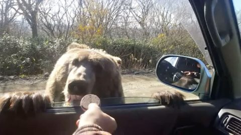 Bear bites! Cute video shows bear cub being fed by driver Image
